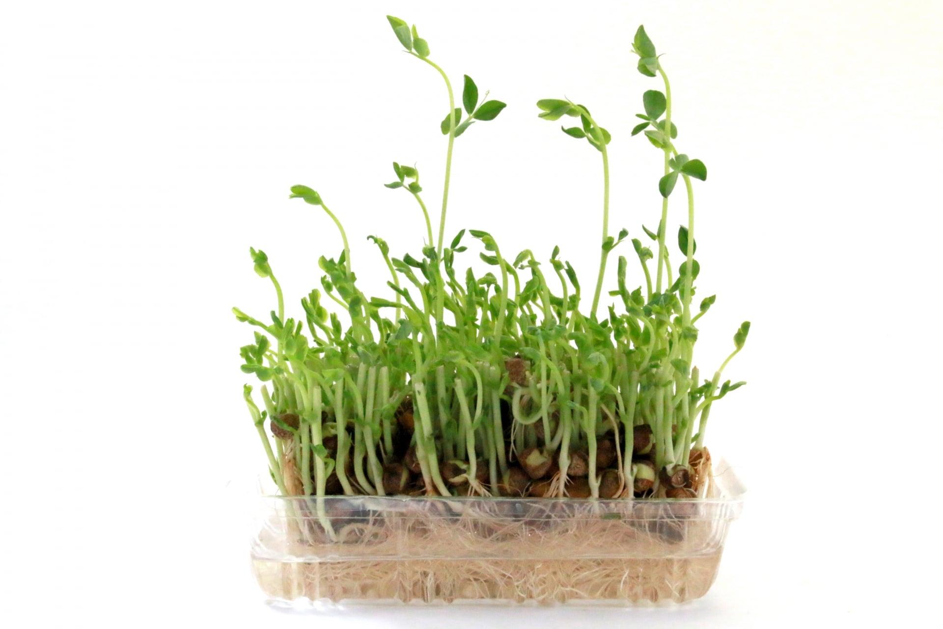 豆苗自家栽培